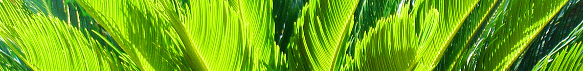 Coast Palms & Cycads Paint Brush Lily