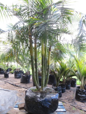 April 2018 - Sugar Cane Palm 6 trunks $1650