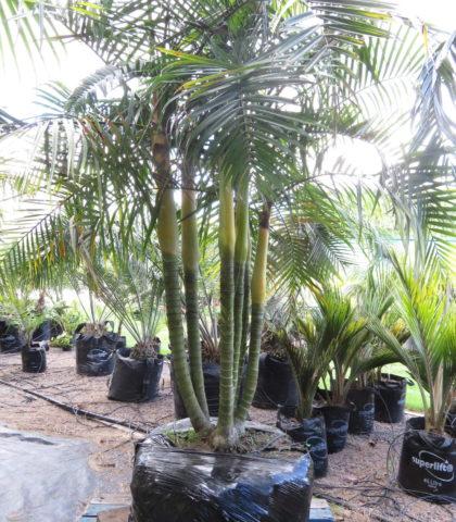 April 2018 - Sugar Cane Palm 6 trunks $1650