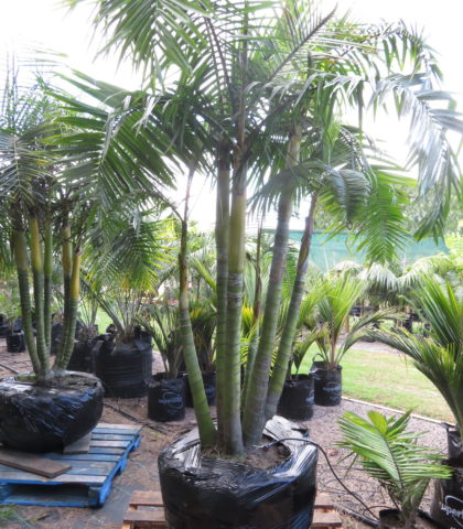 April 2018 - Sugar Cane Palm 6 trunks $1850