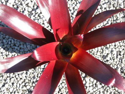 Alcanterea vinicolor 2.5l pot leaf detail