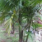 Bangalow Palms (group of 3- not for sale)