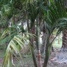 Bangalow Palms (group of 3)