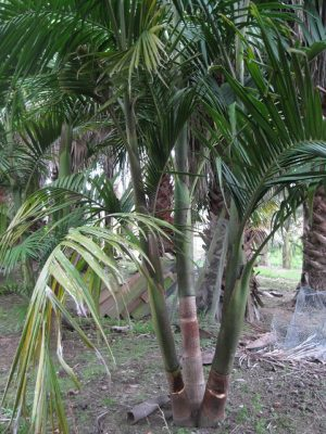 Bangalow Palms (group of 3)