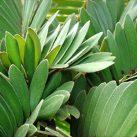 Cardboard Plant - Zamia Furfuracea