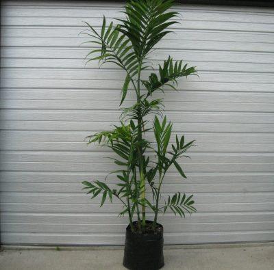 PB40 (25l grade) Costa ricana Bamboo Palm Chamaedorea Costaricana