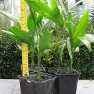 Chamaedorea costericana 500ml potted