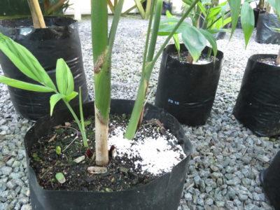 Chamaedorea seifrizii PB18 (9l) grade 1m height double planted