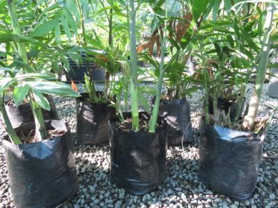 PB18 (9l grade) Costa ricana Bamboo Palm
