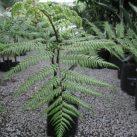 Cyanthea Medullaris