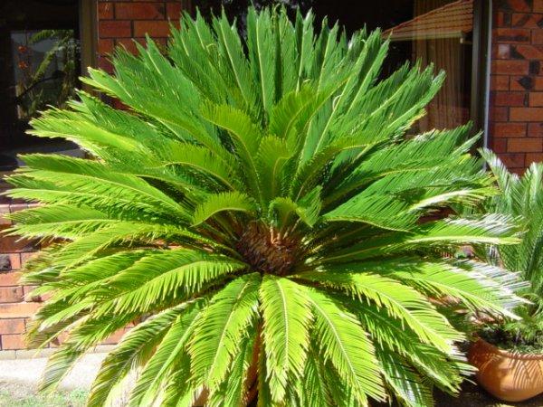 sago palm cycad revoluta coast palms cycads. Black Bedroom Furniture Sets. Home Design Ideas