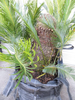 SALE Cycad revoluta 200l (no foliage on main caudex)