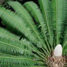Giant Dioon - Dioon spinulosum