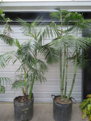 Dypsis baronii 45L ezylift