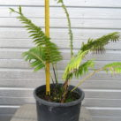 Giant Dioon 14l pot