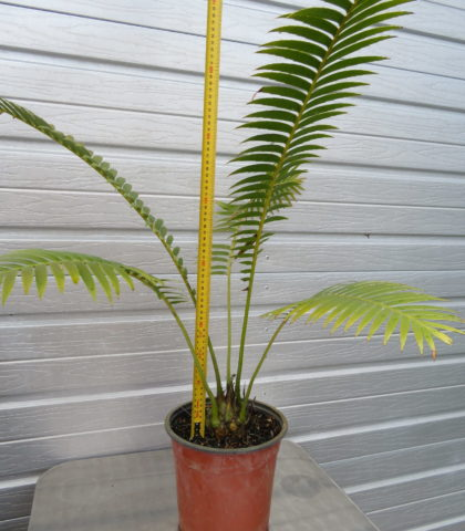 Giant Dioon 5l pot