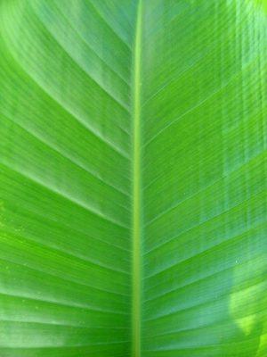 Heliconia Subulata close up
