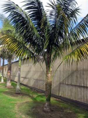 Kentia Palm 18 years old