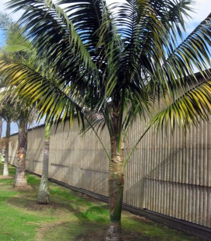 Example Not For Sale: Kentia Palm 22 years old
