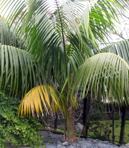 Example Not For Sale: Kentia Palm 14 years old