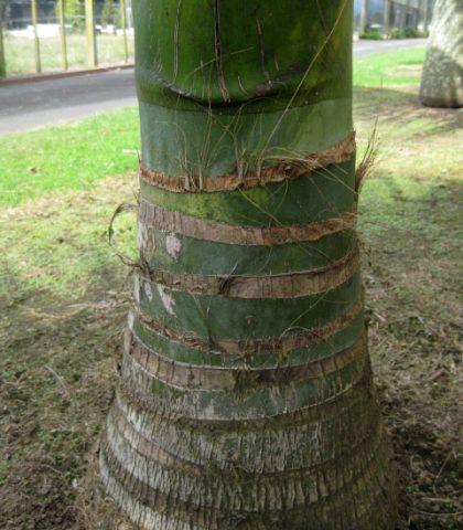 Trunk detail Kentia Palm