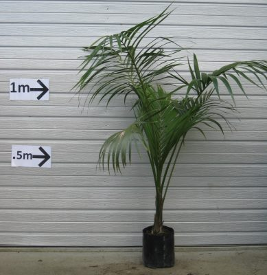 Kentia Palm PB18 $85