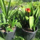10 litre grade Clivia miniata 'Santa Barbara' & 'Grandiflora' hybrid $48.50