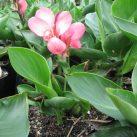 PB12 Canna indica 'Tropical Rose' $18.50 inc GST