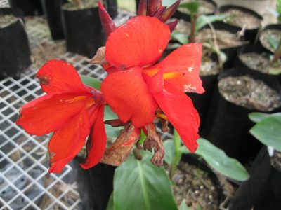 PB12 Canna indica 'Tropical Red' $18.50 inc GST