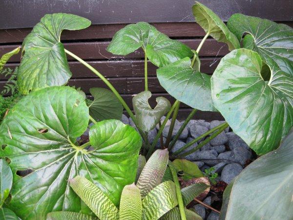 How Tractor Seat Plant Growing : Tractor seat plant ligularia reniformis coast palms cycads