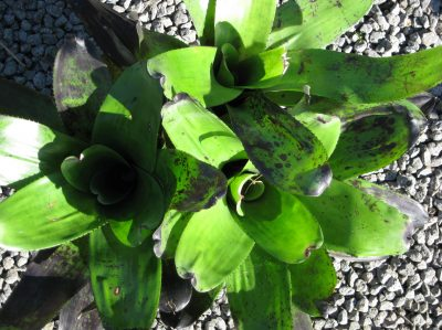 Neoregelia takemura double 6l pot leaf detail