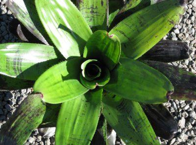 Neoregelia takemura single 6l pot leaf detail
