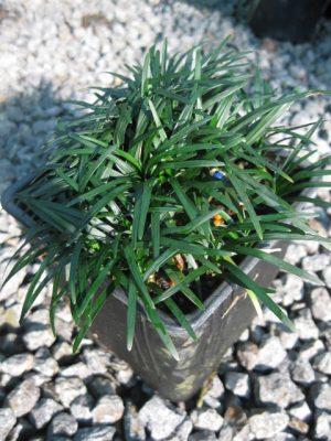 Ophiopogon japonicus Nana