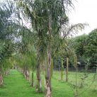 Queen Palms 5-6m range