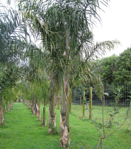 Queen Palms 4m field grown- dug and wrapped included in price