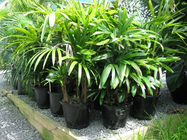 rhapis excelsa 3 coast palms cycads. Black Bedroom Furniture Sets. Home Design Ideas