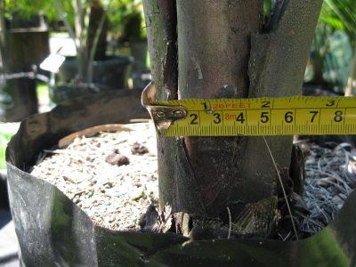 Chatham Nikau- base of trunk