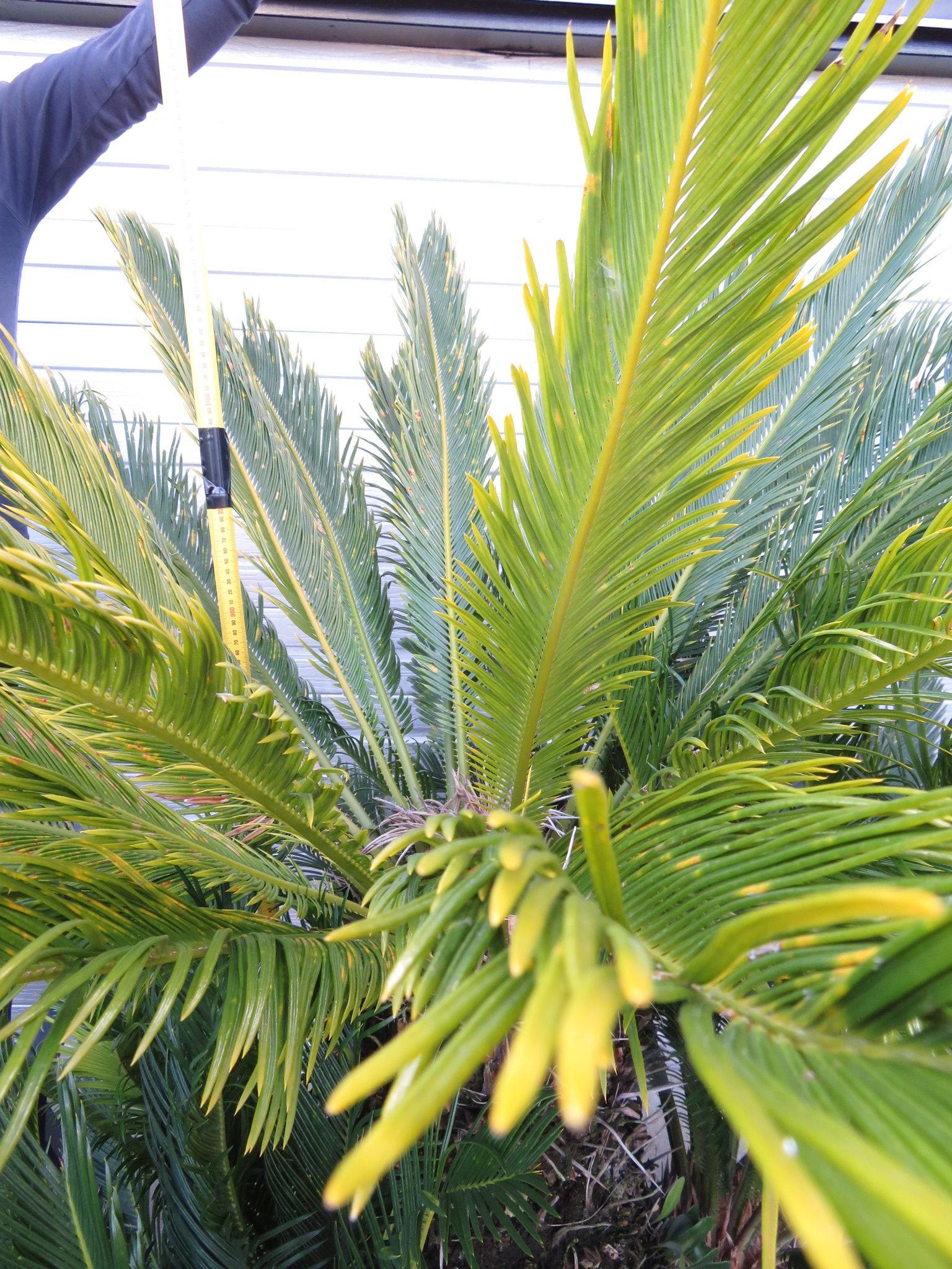 specimen cycad revoluta 130l pot 2 coast palms cycads. Black Bedroom Furniture Sets. Home Design Ideas