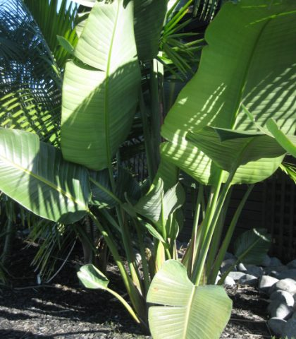 Giant Bird of Paradise 5.5l potted .5m high $30.00