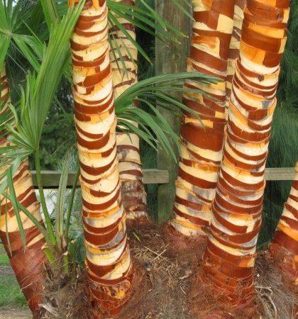 Trachycarpus Fortuneii clump