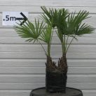 Trachycarpus fortuneii Doubles PB18