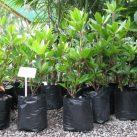 Vireya Rhododendron java light