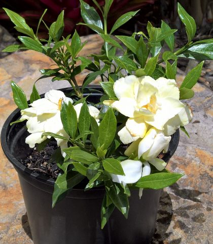 2l potted Gardenia radicans $15.00