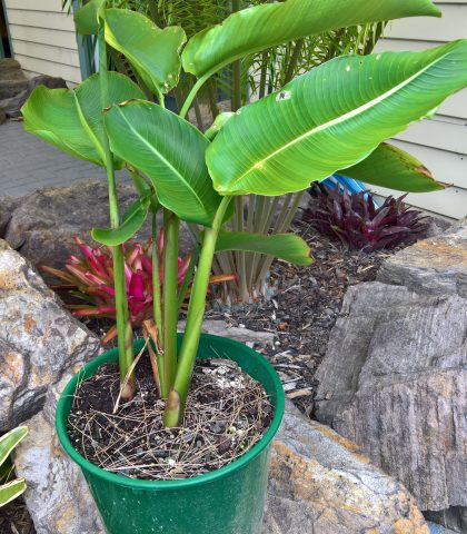 10L potted Heliconia subulata $35