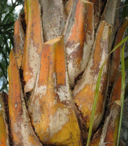 Phoenix Reclinata close up