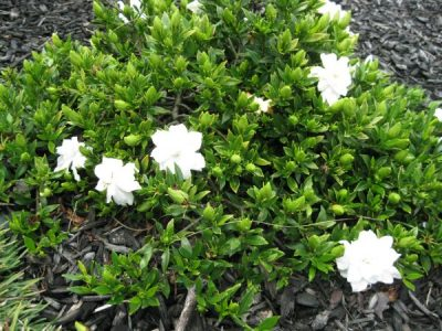 Dwarf Gardenia