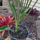 Spoonbill Bird of Paradise 2.5l pot $22.50