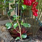2.5l potted Hibiscus 'Molly Cummings' $20.50
