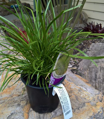 Lomandra 'Lime Tuff' 2l potted $16.00
