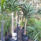 Aloe baineseii 1.8m 35l ezylift (2 left)